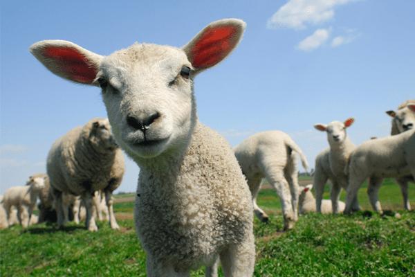 Tinh chất nhau thai cừu rosanna có tốt không