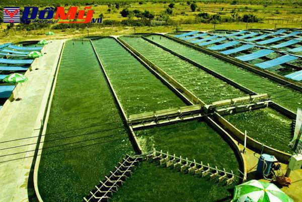 Những cách sử dụng tảo spirulina nhật bản và liều dùng tảo xoắn với từng độ tuổi